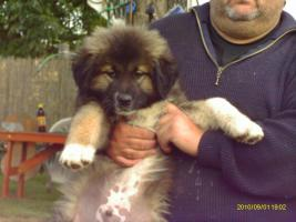 Foto 5 Kaukasische Owtscharka - Welpen