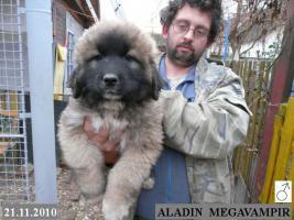Foto 2 Kaukasischer Owtcharka Welpen mit FCI Papieren