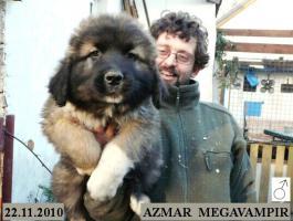 Foto 5 Kaukasischer Owtcharka Welpen mit FCI Papieren