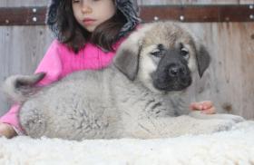 Foto 2 Kaukasischer Owtscharka Welpen