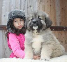 Foto 4 Kaukasischer Owtscharka Welpen