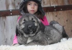 Foto 7 Kaukasischer Owtscharka Welpen