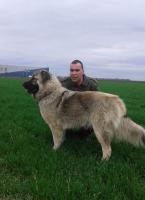 Foto 4 Kaukasischer Owtscharka Welpen von exzellenten Abstammung zum Verkauf