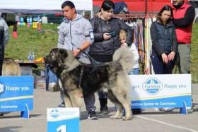 Foto 5 Kaukasischer Owtscharka Welpen von exzellenten Abstammung zum Verkauf