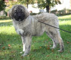 Foto 2 Kaukasischer schaferhund