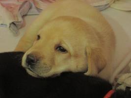 Foto 3 ++ Kerngesunde Labradorwelpen  ***