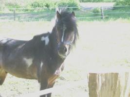 Foto 2 Kinderliebes Pony zuverkaufen