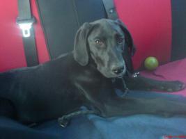 Kira Dogge-Labrador  11 Monate alt