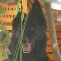 Kira, Belgischer Sch�ferhund