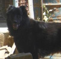 Foto 3 Kira, Belgischer Schäferhund