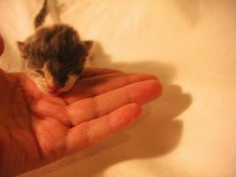 Kitten Nr.1,am 22.2.2010 geb. Gl�ckkatzen/BKH Mix SEHR H�BSCHE F�RBUNG