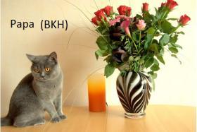 BKH-DECKKATER (PAPA DER KITTEN)