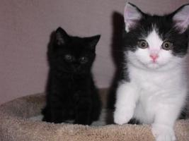 Kitten/BKH dürfen ausziehen!!180 Eur.