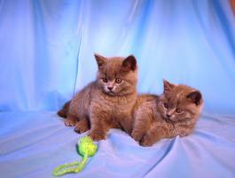 Kitten BKH , BKH Kattzenbabys mit Stammbaum