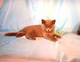 Foto 2 Kitten BKH , BKH Kattzenbabys mit Stammbaum