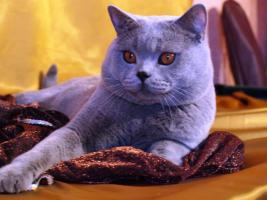 Foto 3 Kitten BKH , BKH Kattzenbabys mit Stammbaum