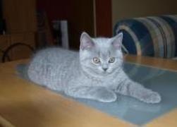 Foto 4 Kitten BKH , BKH Kattzenbabys mit Stammbaum