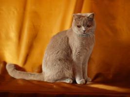 Foto 5 Kitten BKH , BKH Kattzenbabys mit Stammbaum