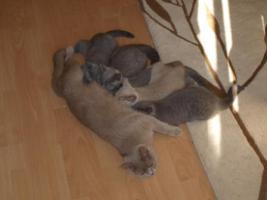 Foto 8 Kitten BKH , BKH Kattzenbabys mit Stammbaum