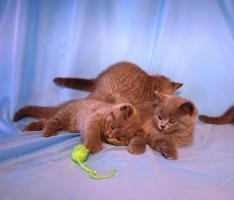 Foto 9 Kitten BKH , BKH Kattzenbabys mit Stammbaum
