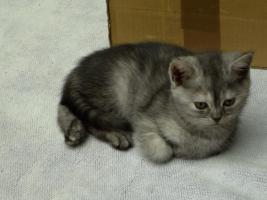 Kitten aus der Hobbyzucht v. Lehmkuhlen in SH