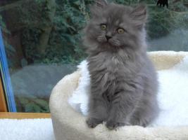 Foto 2 Kitten aus der Hobbyzucht v. Lehmkuhlen in SH
