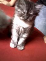 Kitten Perser/BKH MIx