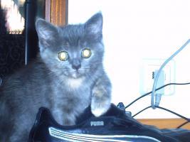 Foto 4 Kitten Perser/BKH MIx