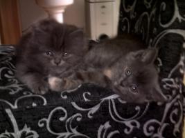 Foto 5 Kitten Perser/BKH MIx