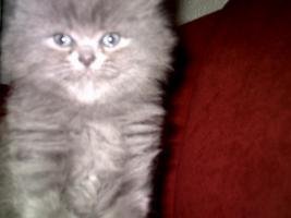 Foto 6 Kitten Perser/BKH MIx