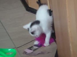 Foto 2 Kitten gegen 75 Euro Schutzgebühr
