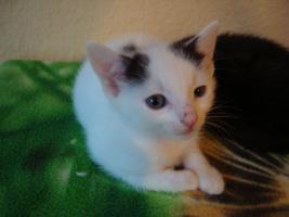 Foto 3 Kitten gegen 75 Euro Schutzgebühr