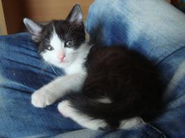 Foto 4 Kitten gegen 75 Euro Schutzgebühr