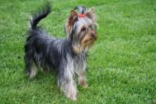 Kleinbleibende Yorkshire Terrier H�ndin