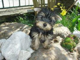 Kleinbleibende  Yorkshire Terrier aus Ober�sterreich