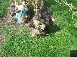 Foto 3 Kleinbleibende  Yorkshire Terrier aus Ober�sterreich