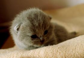 Foto 5 Kleine BKH-Knutschkugeln zum liebhaben und verwöhnen lassen