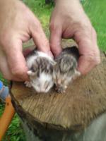 Kleine Babykatzen zu verkaufen !!!