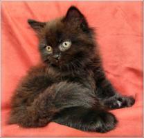 Foto 4 Kleine Britisch Langhaarkätzchen aus liebevoller Wohnungsaufzucht