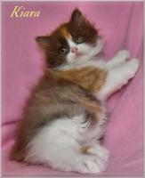 Foto 5 Kleine Britisch Langhaarkätzchen aus liebevoller Wohnungsaufzucht