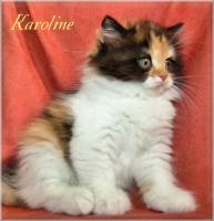 Foto 6 Kleine Britisch Langhaarkätzchen aus liebevoller Wohnungsaufzucht