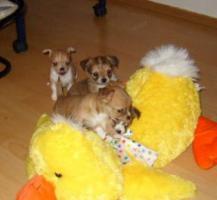 Foto 2 Kleine Chihuahua Babys zu verkaufen