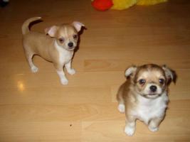 Foto 4 Kleine Chihuahua Babys zu verkaufen
