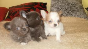Foto 2 Kleine Chihuahua Hündin
