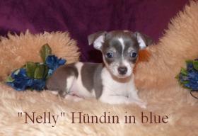 Kleine Chihuahua Kurzhaar -Babys in Traum Farben