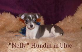 Foto 2 Kleine Chihuahua Kurzhaar -Babys in Traum Farben