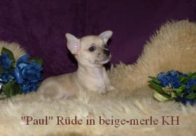 Foto 3 Kleine Chihuahua Kurzhaar -Babys in Traum Farben