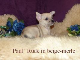 Foto 4 Kleine Chihuahua Kurzhaar -Babys in Traum Farben