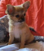 Foto 2 Kleine Chihuahua Welpen in Kurz und Langhaar