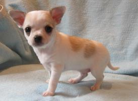 Foto 3 Kleine Chihuahua Welpen in Kurz und Langhaar